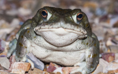 Could Psychedelic Toad Milk Treat Depression?